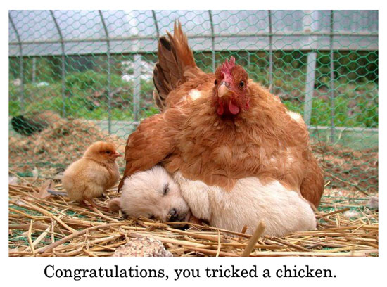 tricked a chicken